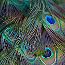 Peacock Feather 2 by Taylor T