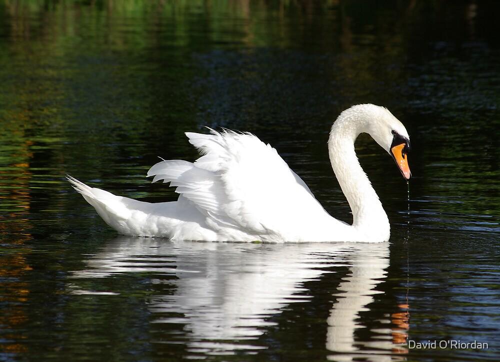 Swan by David O'Riordan