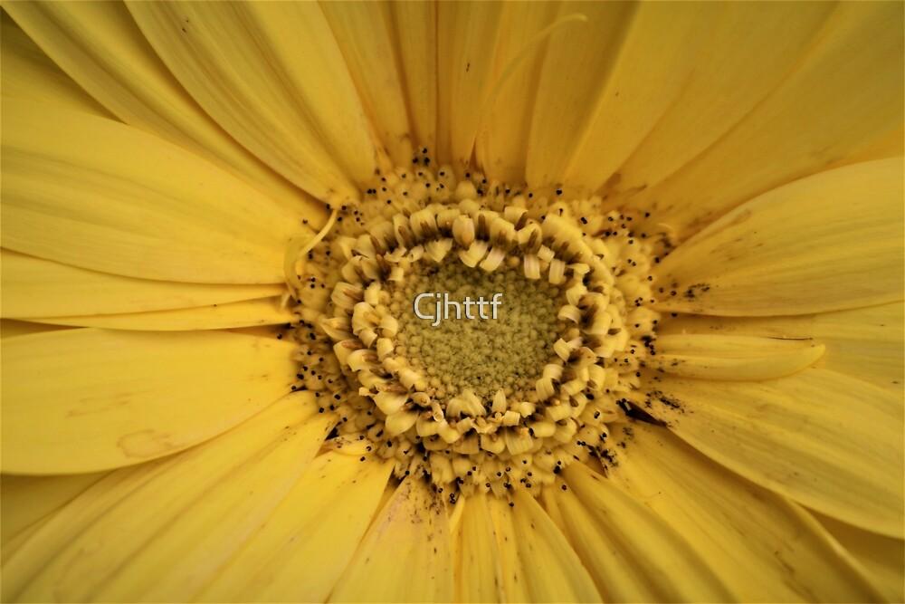Sunflower by Cjhttf