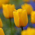 Yellow Tulips by Tim Yuan