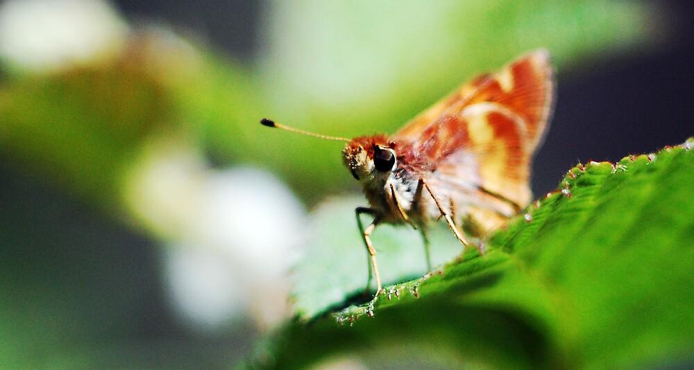 Moth by Fane