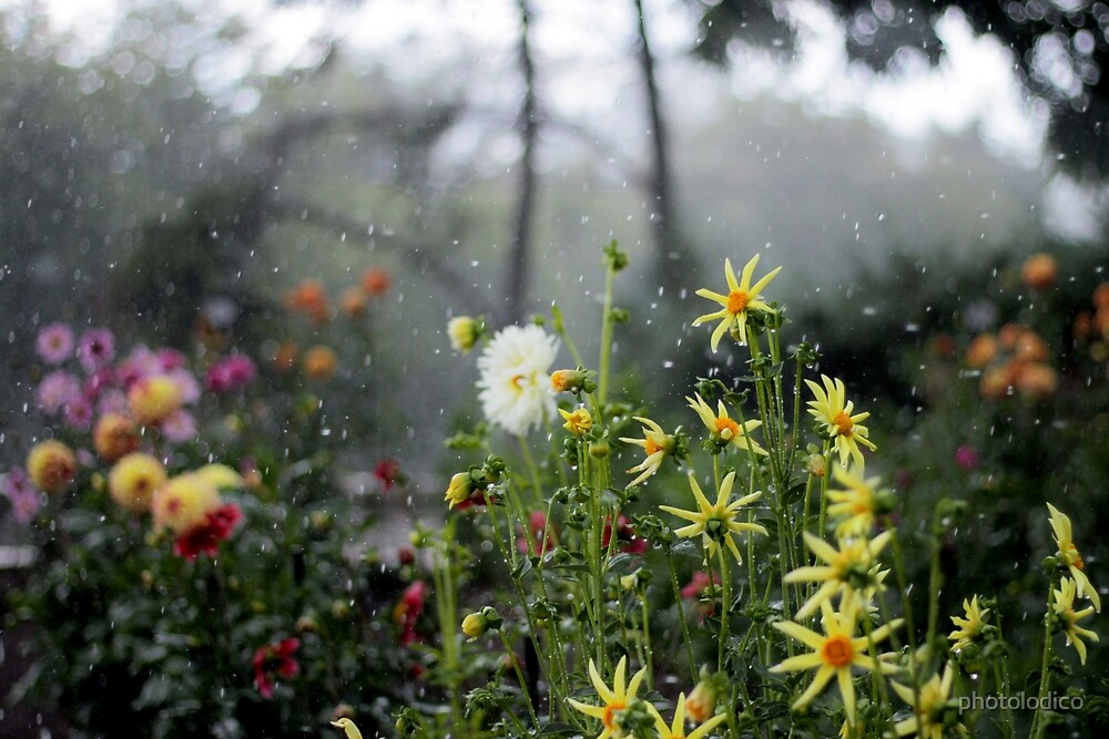 Dahlia Garden in a Thunder Storm  by photolodico