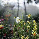Dahlia Garden in a Thunder Storm  by photolodico