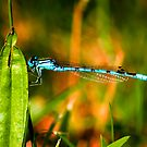 Damsel Fly by Trevor Patterson