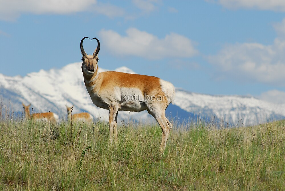 MISSION VALLEY PRONGHORN by kotybear