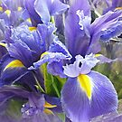 *A Patch of Blue - Iris Patch - Spring 2015* by EdsMum