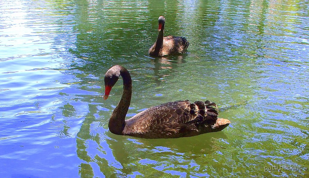Black swans by patti haskins