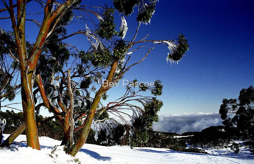 Frozen Snowgums, Mt Baw Baw. by Bev Pascoe