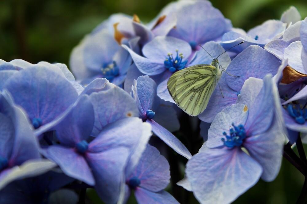 Butterfly on Hydrangea by Megan Howdle