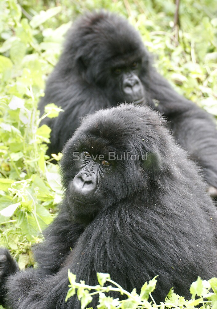 Mountain Gorillas II by Steve Bulford