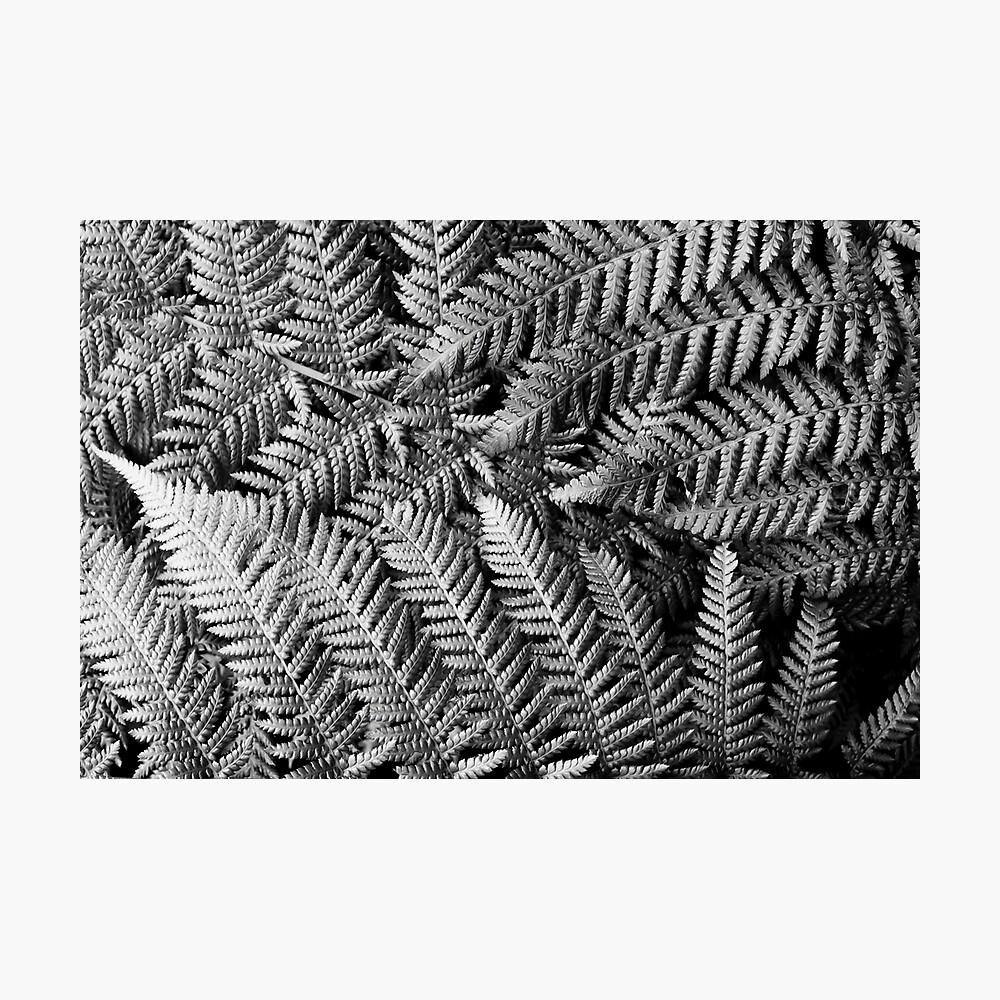 New Zealand Silver Fern Photographic Print