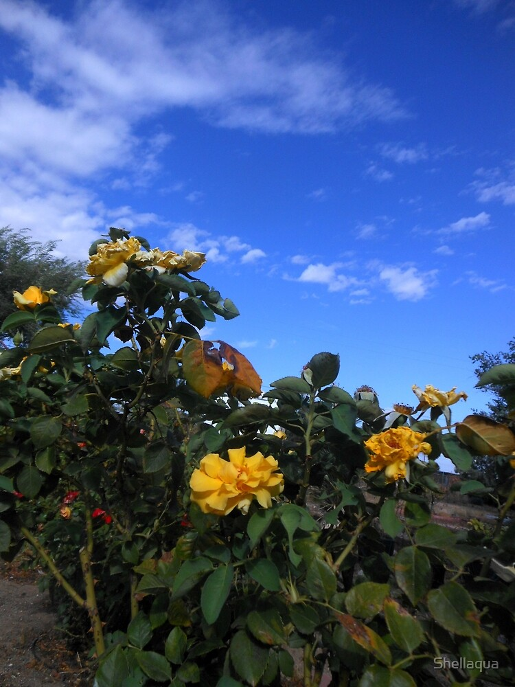 yellow roses, cloudy sky 09/08/17 by Shellaqua