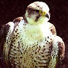 Hobby - Bird of Prey by Trevor Kersley