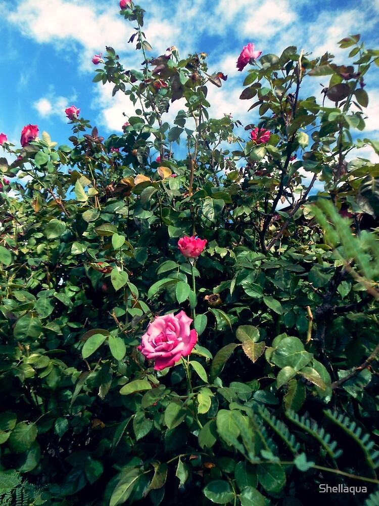 paradise rosebush 09/08/17 by Shellaqua