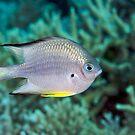 Ribbon Reefs - White-belly Damsel by Douglas Stetner