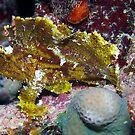 Ribbon Reefs - Green Leaf Scorpion Fish by Douglas Stetner