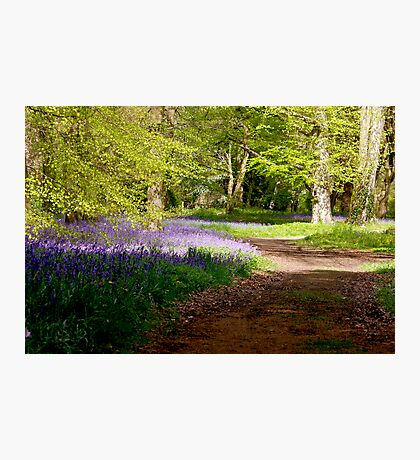 A Walk in Bluebell Wood- Thorpe Perrow (Spring) Photographic Print