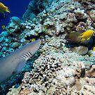 Osprey Reef - Shark and Moray by Douglas Stetner