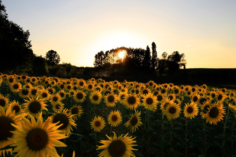 Sunflower Sunset by Paul Sims