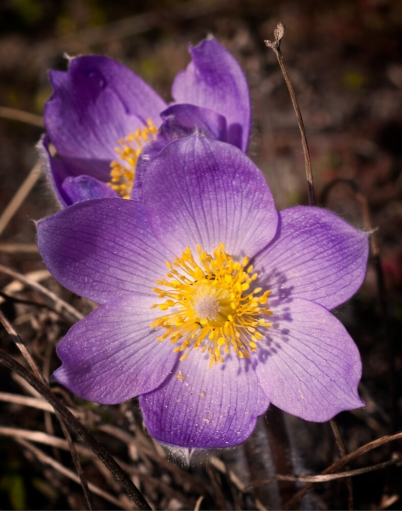 Prairie Crocus by Yukondick