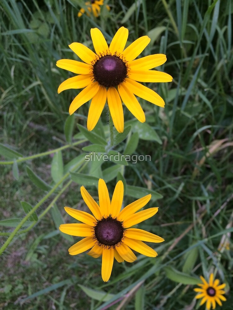 Brown Eyed Susan Flowers by silverdragon