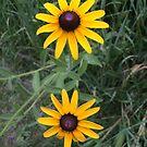 Brown Eyed Susan Flowers by silverdragon