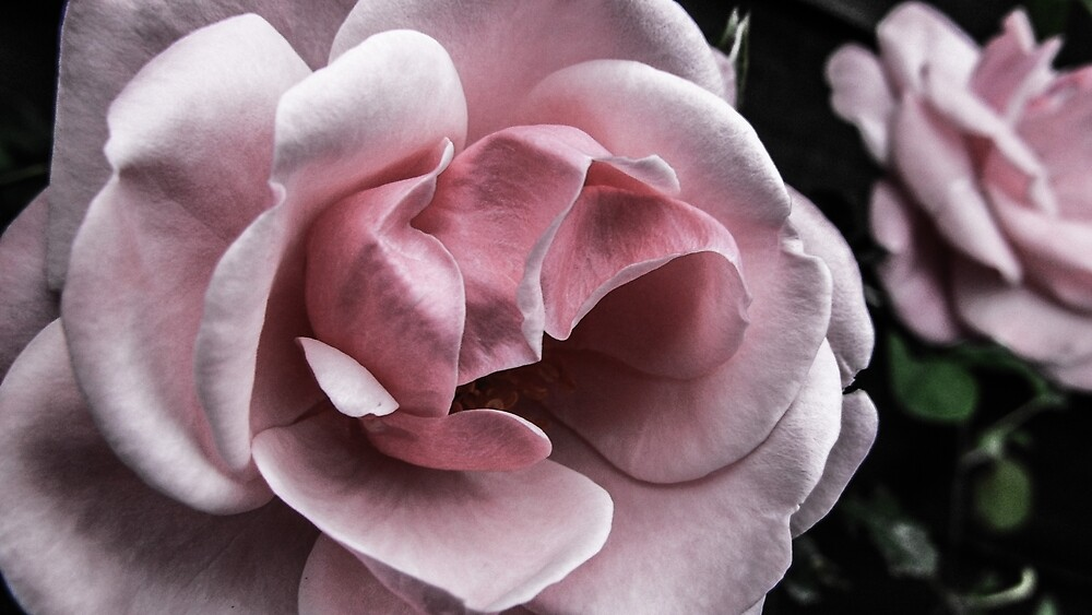 Pink Rose by ewantaylor12