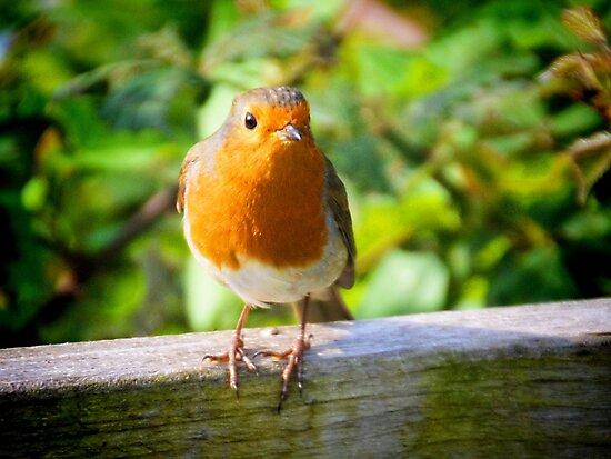 Robin............. Seaton Devon UK by lynn carter
