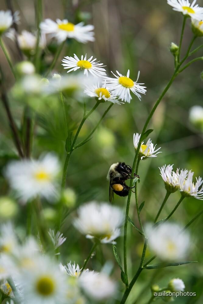 Bee Pollinating Fleabane Flowers by awilsonphotos