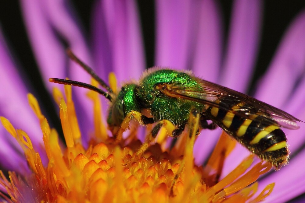 Sweat Bee on New England Aster by Kane Slater