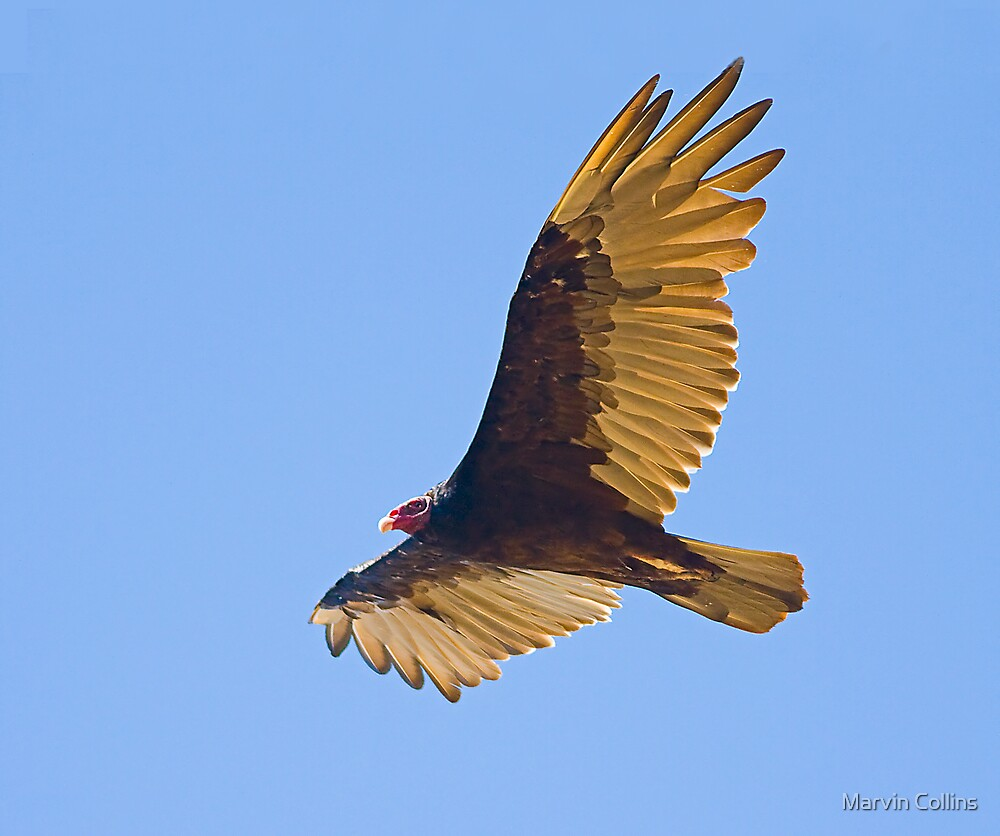 Vulture by Marvin Collins