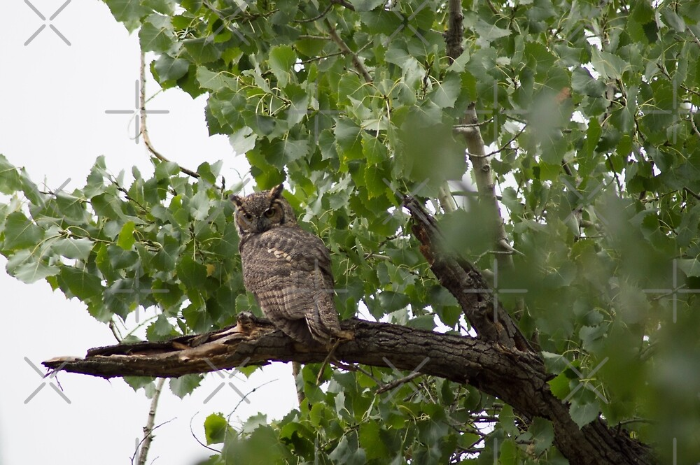Rio Grande Owl by WickedTink