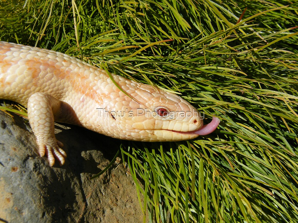 Albino Blotched Bluetongue in Tasmania by Thow's Photography