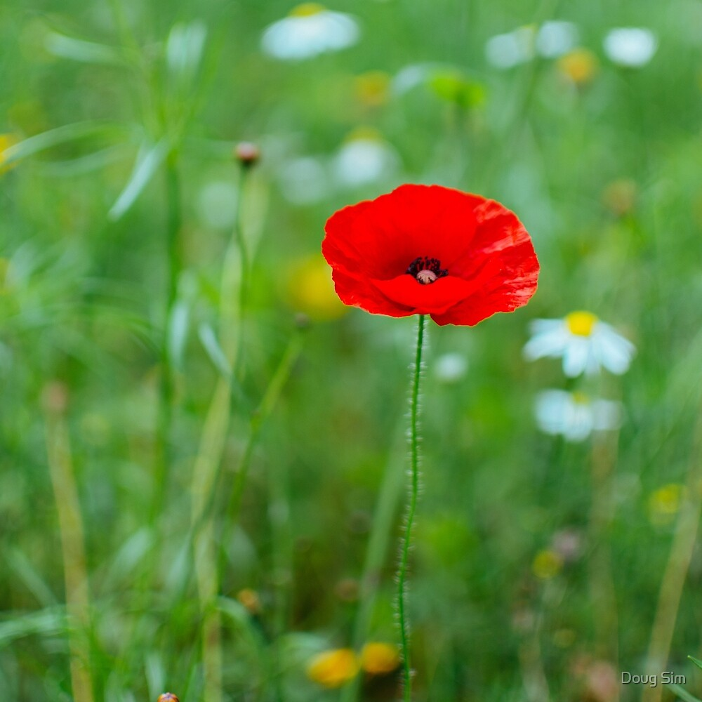 A Poppy Flower  by douglas sim