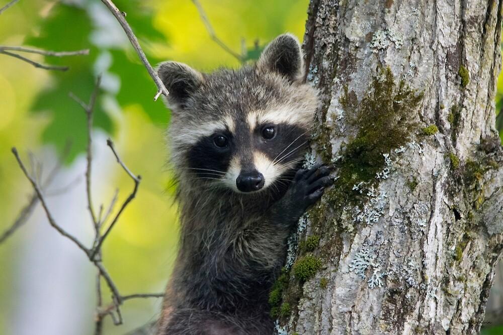 Curious Raccoon by Jan Mulherin