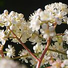 Photinia by Catherine Davis