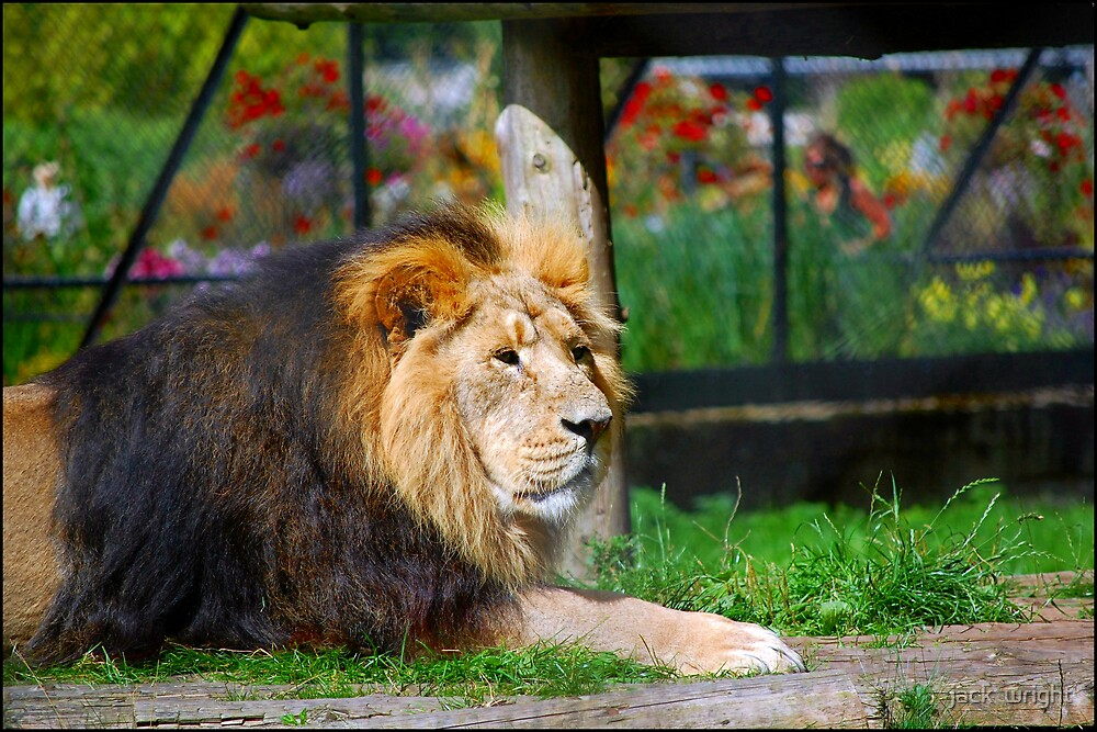 the king of the pride by jack  wright