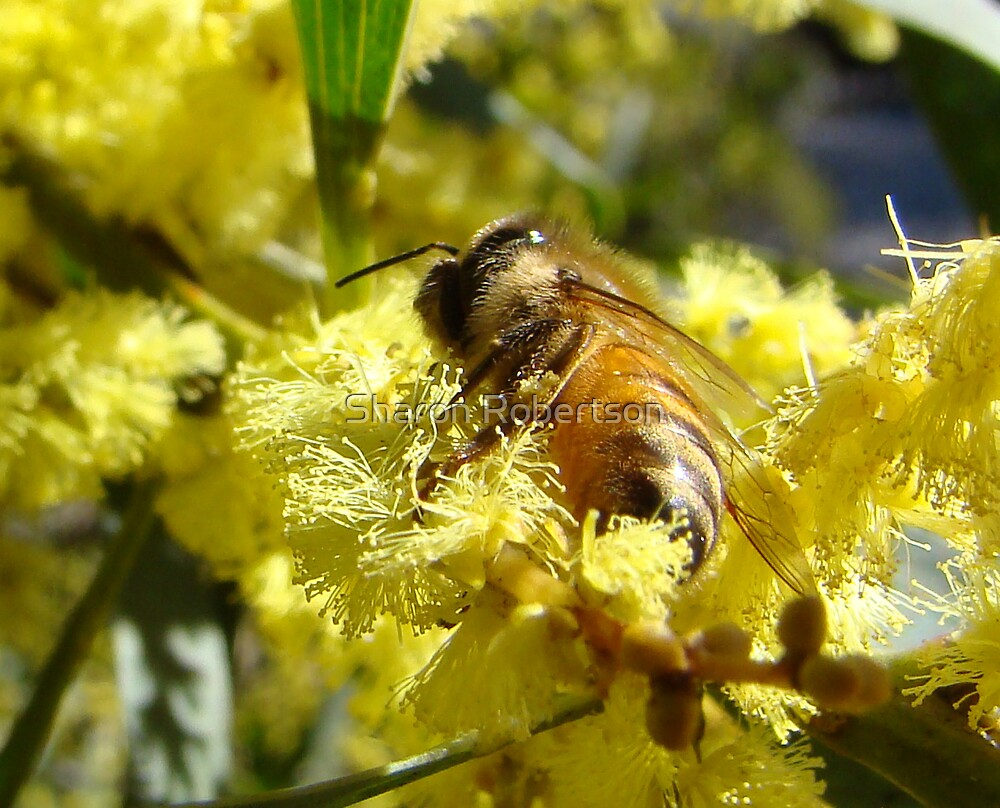 Bee feeding on Wattle by Sharon Robertson