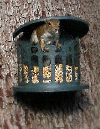 Squirrel Food Bandit by Deb Hoffkins