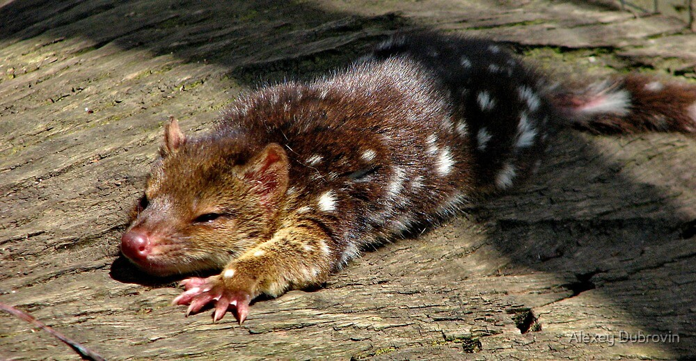 Baby Spotted tailed quoll by Alexey Dubrovin