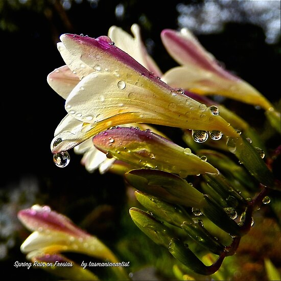 D1G1TAL-M00DZ ~ FLORAL ~ JUST PHOTOS ~ Spring Rain on Fresias by tasmanianartist by tasmanianartist