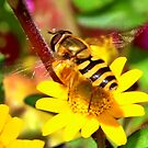 Hover fly on a Daisy by AnnDixon