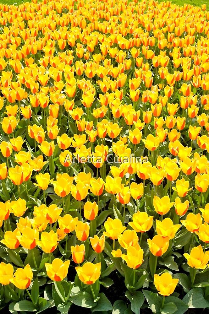 Plenty red and yellow Stresa tulips by Arletta Cwalina
