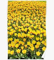 Plenty red and yellow Stresa tulips Poster