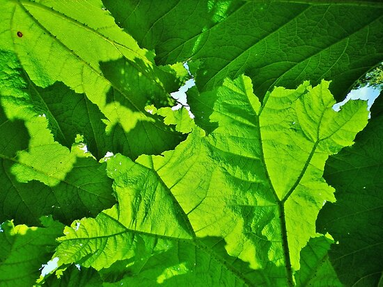 GREEN LEAF CANOPY OF GIANT RHUBARB  by Richard Brookes