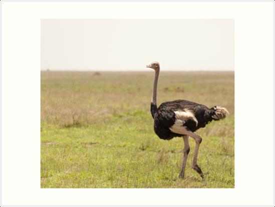 Ostrich by Angela Devaney
