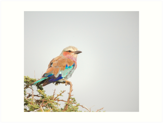 Lilac breasted roller by Angela Devaney