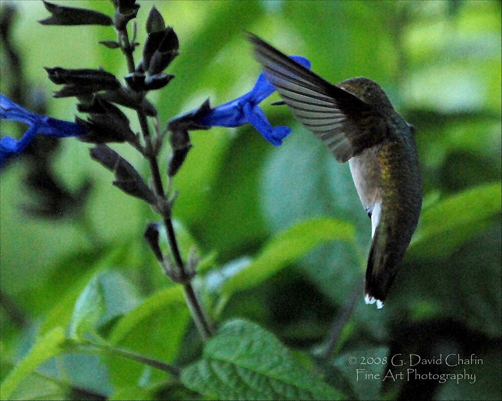 Hummingbird 7 by G. David Chafin