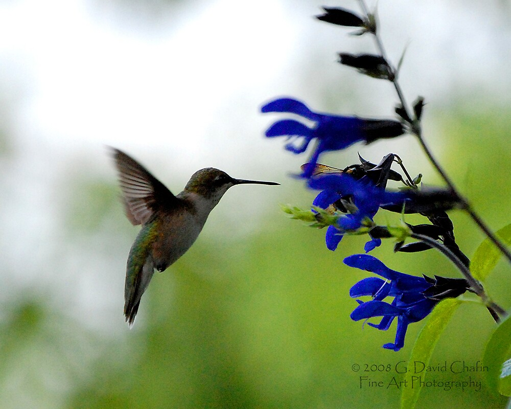 Hummingbird 8 by G. David Chafin