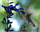 Hummingbird 9 by G. David Chafin
